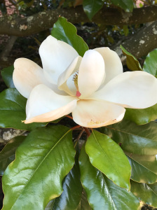 photo of a magnolia flower